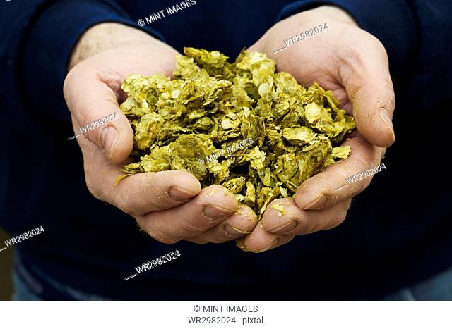 Close up of human hands holding hops, the major ingredient for making beer