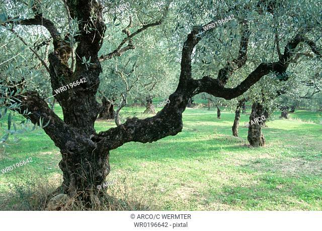 Old, Olive, Trees, Zakynthos, Greece, Olea, europaea