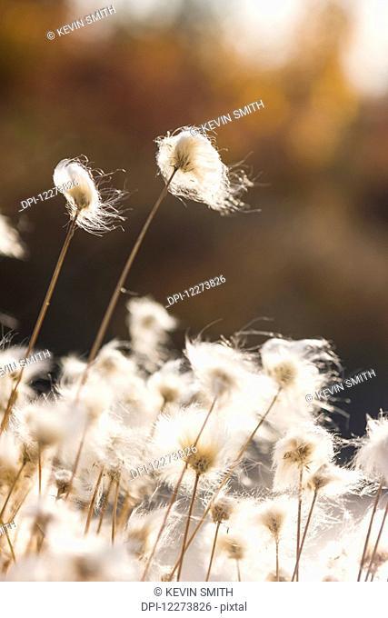 Tufts of Cottongrass (Eriophorum) backlit by the sun; Noatak, Alaska, United States of America