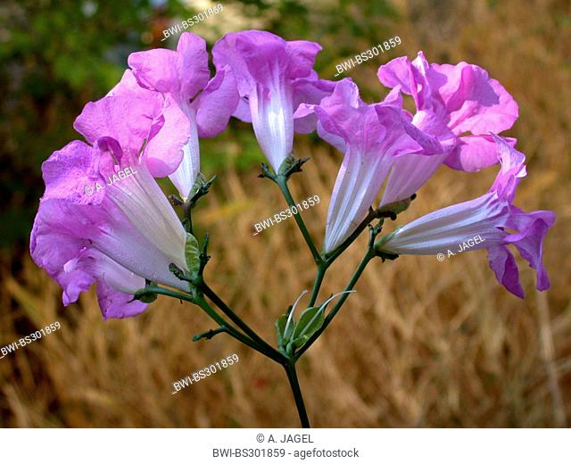 Podranea, Pink Trumpet Vine, Bignone Rose (Podranea ricasoliana), inflorescence