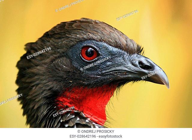 Detail portrait of Crested Guan, Penelope purpurascens, Costa Rica
