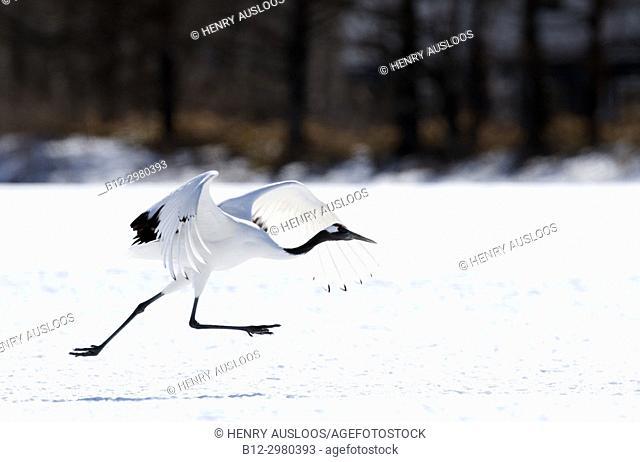 Japanese crane, Red-crowned crane (Grus japonensis) take-off, Japan