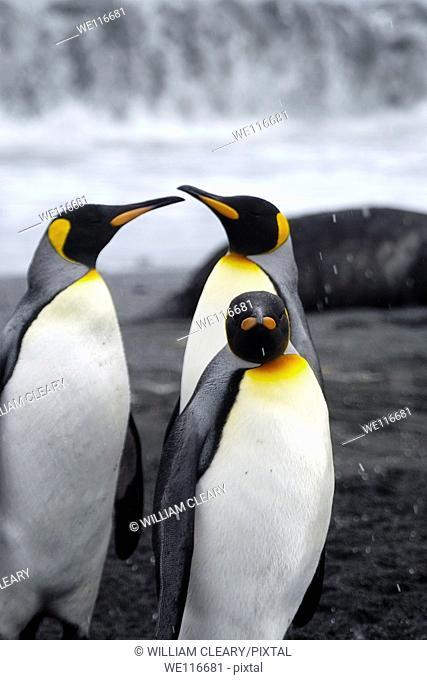 King Penguins on the island of South Georgia, Antarctica