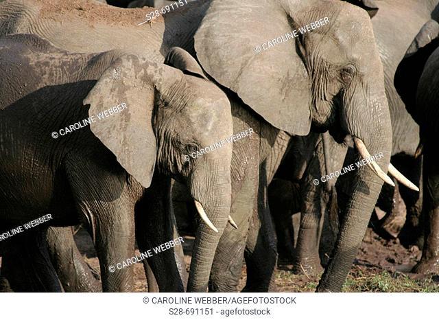 Elephants at Chobe National Park. Botswana