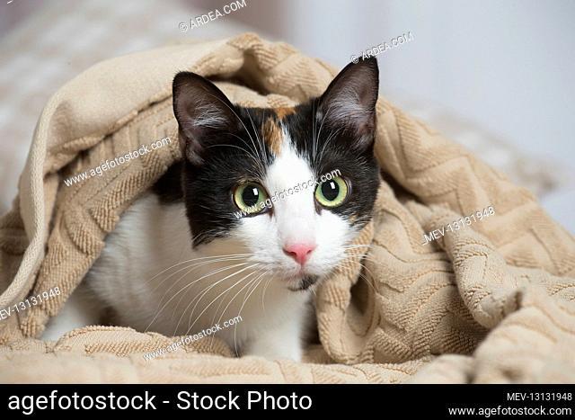 Calico cat indoors