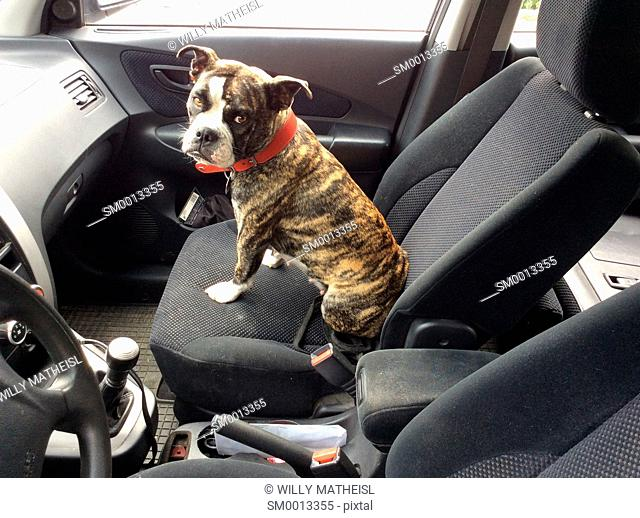 bulldog sitting in car on co-drivers seat, Germany, Europe