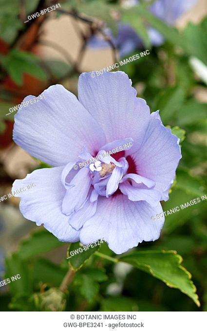 Hibiscus Hibiscus Syriacus Stock Photos And Images Age Fotostock
