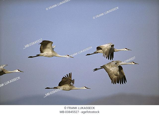 It Was Twilight And Sandhill Cranes >> Sandhill Crane Flight Grus Canadensis Stock Photos And Images Age