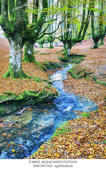 Beechwood and rivulet. Otzarreta, Gorbeia Natural Park, Biscay, Spain, Europe