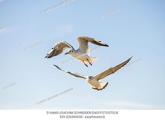 Black-headed gull flying in Poland