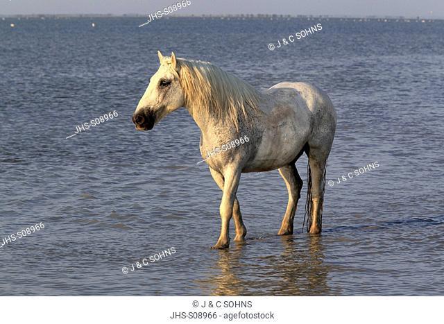 Camargue Horse,Equus caballus,Saintes Marie de la Mer,France,Europe,Camargue,Bouches du Rhone,horse galloping in water