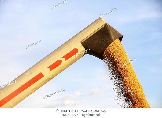 Combine harvester unloads grain