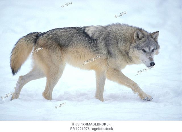 Wolf (Canis lupus), adult animal in the snow, Montana, USA, North America