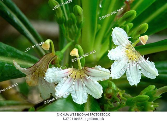 Wild flower. Image taken at Kampung Pandan, Lundu, Sarawak, Malaysia