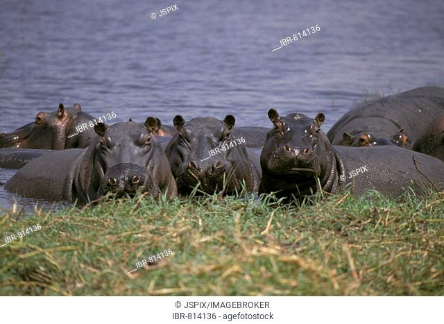 Group of Hippopotami in water, Chobe National Park, Botswana, Africa