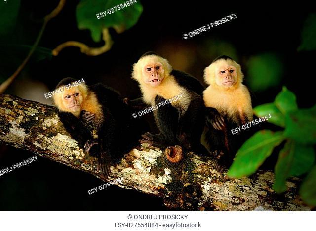 Monkey, White-headed Capuchin, Cebus capucinus