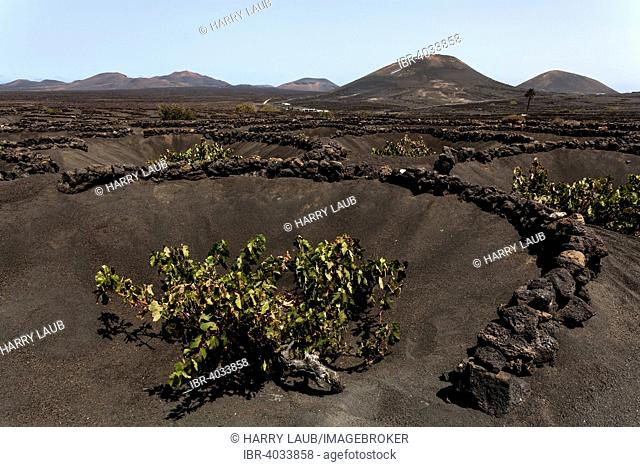 Typical vineyards in dry cultivation in volcanic ash, lava, vines, vineyard La Geria, Lanzarote, Canary Islands, Spain