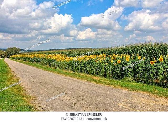 Ein Feld mit Sonnenblumen