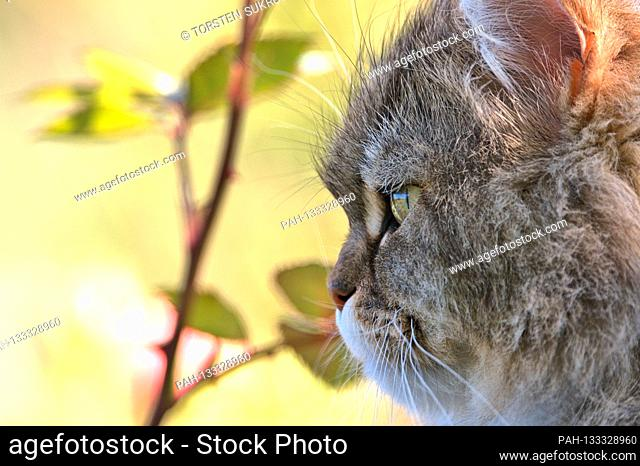 23.06.2020, Brodersby, Schleswig-Holstein, a long-haired cat (Persian crossbreed) can enjoy it in the garden at home in nice summer weather