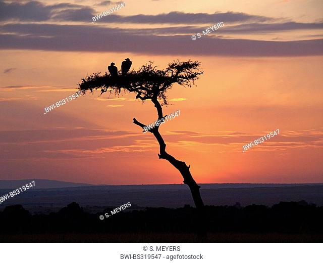 Ruppel's griffon, Rueppells griffon vulture (Gyps rueppelli), two vultures sitting on a tree at sunset, Kenya, Masai Mara National Park