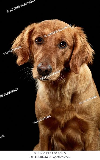 Golden Retriever. Portrait of adult dog against a black background. Germany