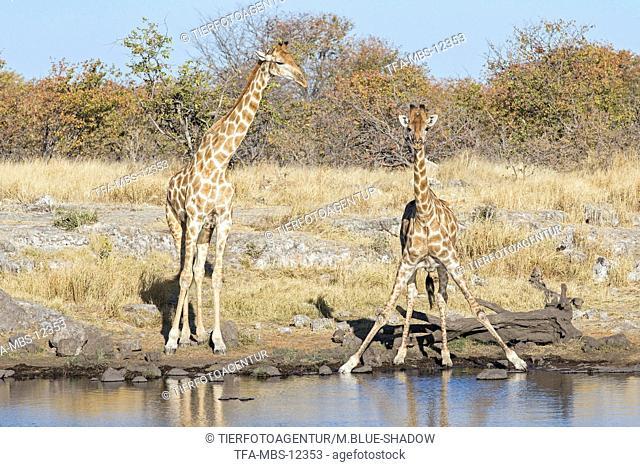Angola Giraffes