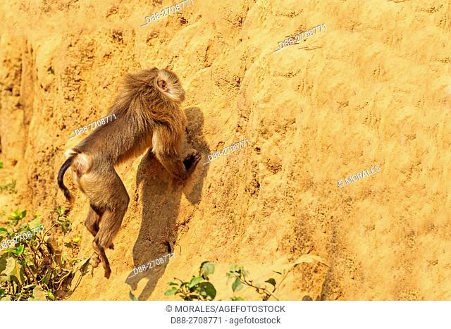 South east Asia, India, Tripura state, Northern pig-tailed macaque (Macaca leonine)