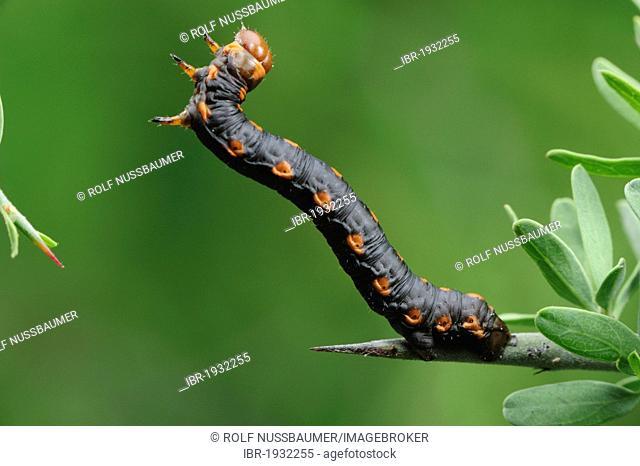 Measuringworm Moth (Geometridae), caterpillar, Laredo, Webb County, South Texas, USA, America