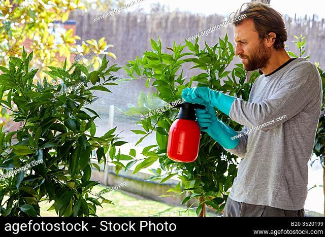 Gardener spraying citrus tree with sprayer, Orchard, Calahorra, La Rioja, Spain, Europe