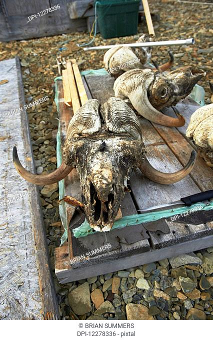 Musk Ox skull; Nunavut, Canada
