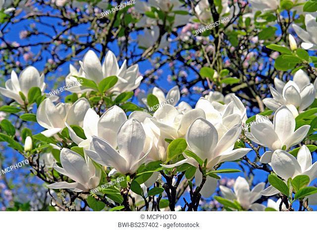 saucer magnolia Magnolia x soulangiana, Magnolia soulangiana, Magnolia x soulangeana, Magnolia soulangeana, Magnolia blossoms