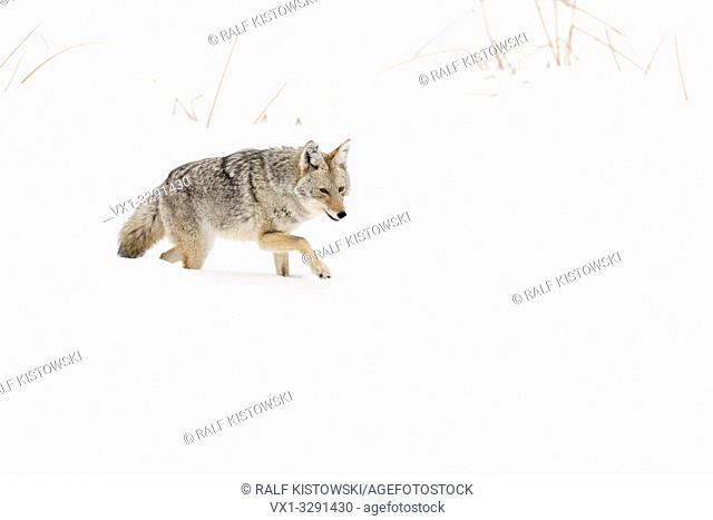 Coyote / Kojote ( Canis latrans ), in winter, walking through deep snow, natural surrounding, habitat, typical, characteristic, Yellowstone NP, Wyoming, USA