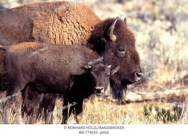 American Buffaloes (Bison bison), Yellowstone National Park, Wyoming, USA