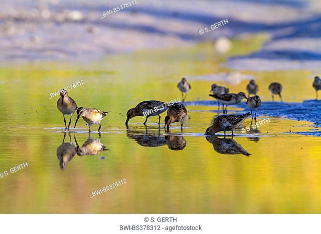 curlew sandpiper (Calidris ferruginea), group on the feed, Switzerland, Sankt Gallen, Lake Constance