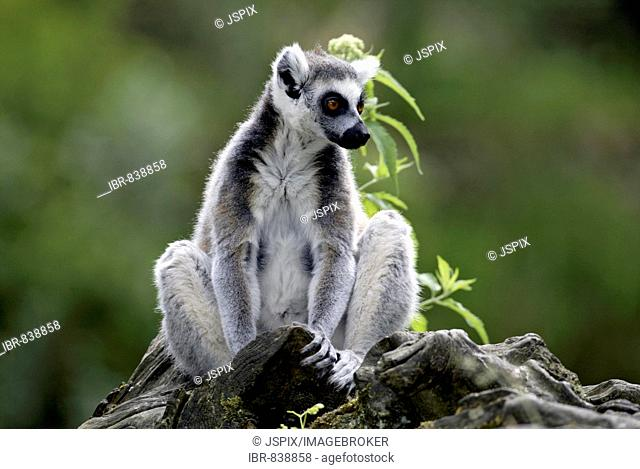 Ring-tailed Lemur (Lemur catta), Berenty Game Reserve, Madagascar