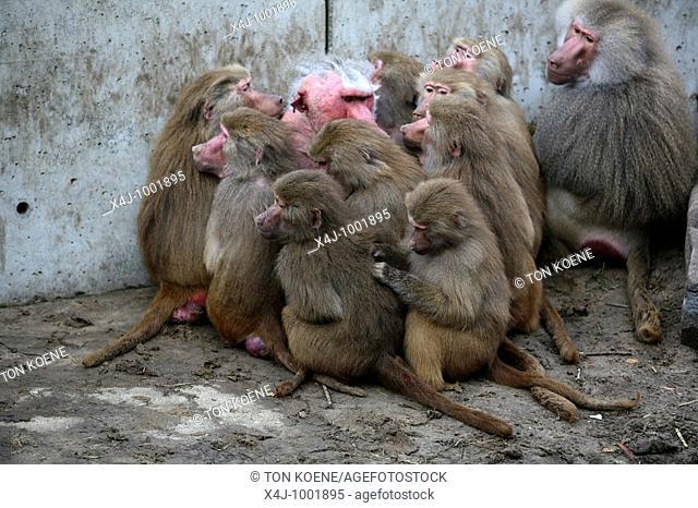 zoo parc: Beekse bergen near Tilburg: monkeys