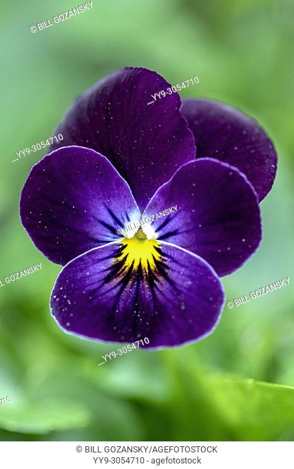 Sorbet Series Viola (Viola cornuta 'Phantom') - North Carolina Arboretum, Asheville, North Carolina, USA
