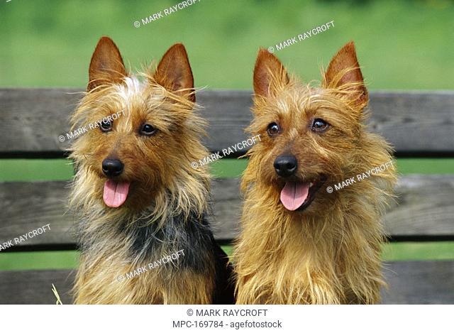 Australian Terrier Canis familiaris, pair sitting on bench