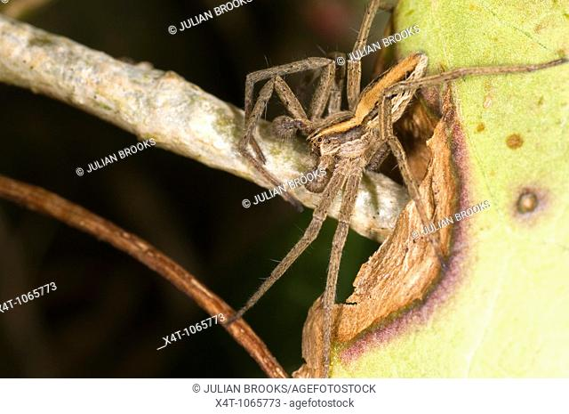 Extreme close up of the nursery web spider, Pisaura Mirabilis, male