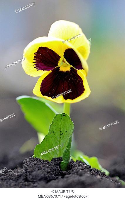 heartsease, viola wittrockiana, blossom