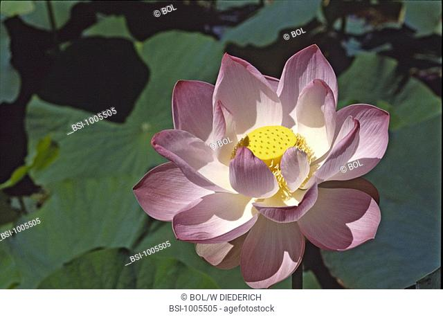 LOTUS<BR>Worldwide distribution except for United Kingdom and Germany.<BR>Lotus in the Grapefruit Garden on Mauritius Island