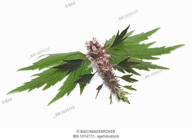 Motherwort (Leonurus cardiaca, Cardiaca comune), medicinal plant