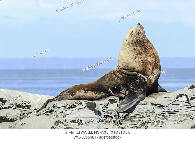 Steller Sea Lion, Eumetopias jubatus, Salish Sea, British Columbia, Canada, Pacific