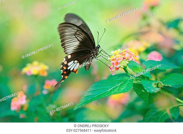 Butterfly Ceylon rose or Sri Lankan rose, Pachliopta jophon