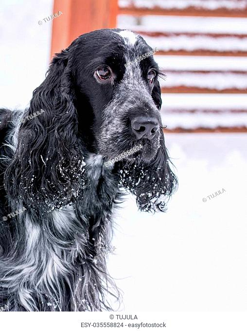 Donald Young 3 years old cocker spaniel loves the first snow of winter
