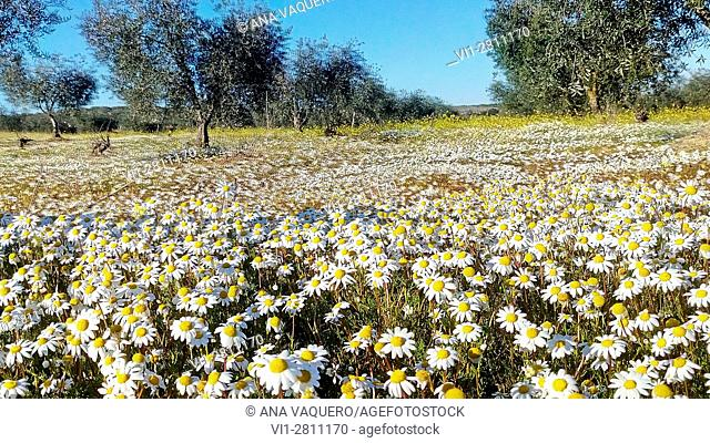 Olivar with daisies, Escurial, Cáceres, Extremadura, Spain
