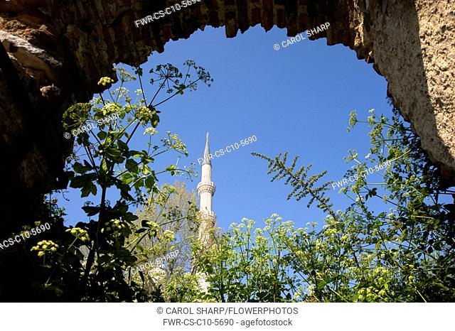 Alexanders, Smyrnium olusatrum, Flowering stems growing under an arch with minaret of a mosque against the blue sky behind