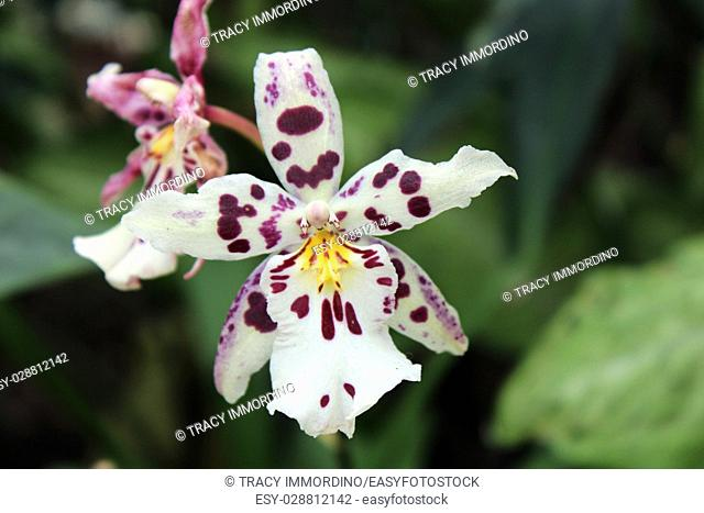 Close up of an Odontoglossum orchid with white petals with purple spots