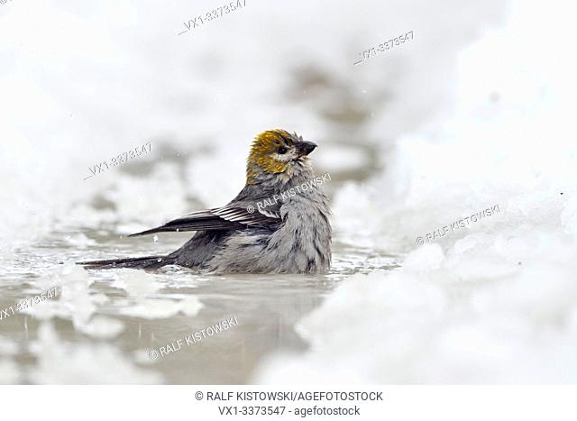 Pine grosbeak / Hakengimpel ( Pinicola enucleator ), female adult in winter, bathing, cleaning its plumage in an icy puddle, Montana, USA.