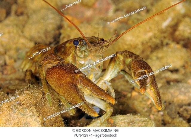 Named after the colouration on the underside of its claws the white clawed crayfish Austropotamobius pallipes is now considered an endangered species within the...